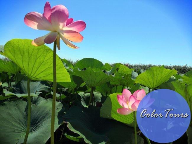 Долина лотосов в Анапе когда цветут