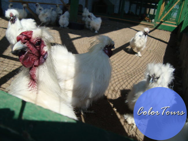 Китайская шелковистая курица