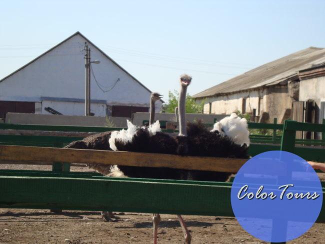 Страусиная ферма Птица Удачи в Оренбурге
