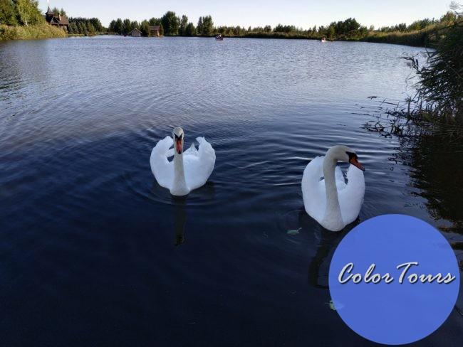 Лебеди в парке Луна